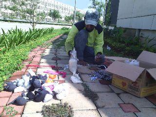 pemupukan taman oleh tim landscaping biosis (6)