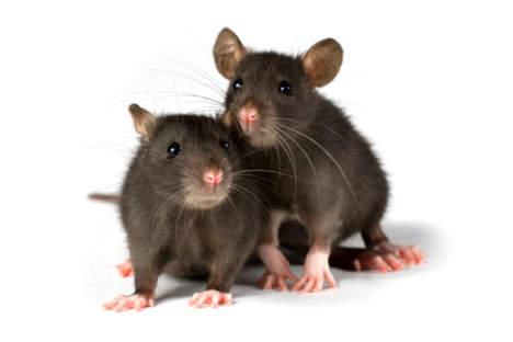 ciri-ciri-terkena-virus-tikus.jpg